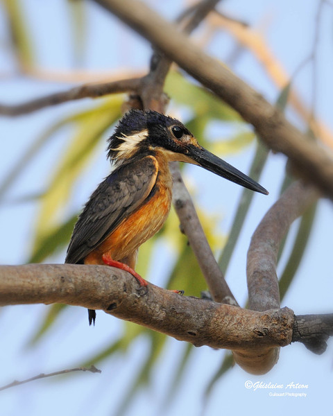 The Azure Kingfisher is a moderately common bird, found around creeks and waterhole, difficult to spot due to its small size and most of the time stands among branches and foliage