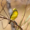 Yellow white eye bird,recognized by the white feathers around its eyes, very shy