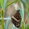 Butterfly coming out of its cocoon