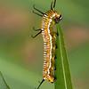 Catterpillar having a feast in our garden