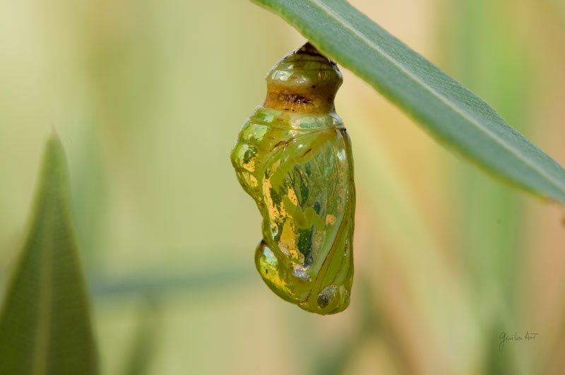 the butterfly wings can be seen through the cocoon
