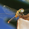 arrival of millions of dragonfly is a hint that the wet season is about to end in western australia, Broome