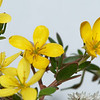 Bush flowers_5688-062010-00106