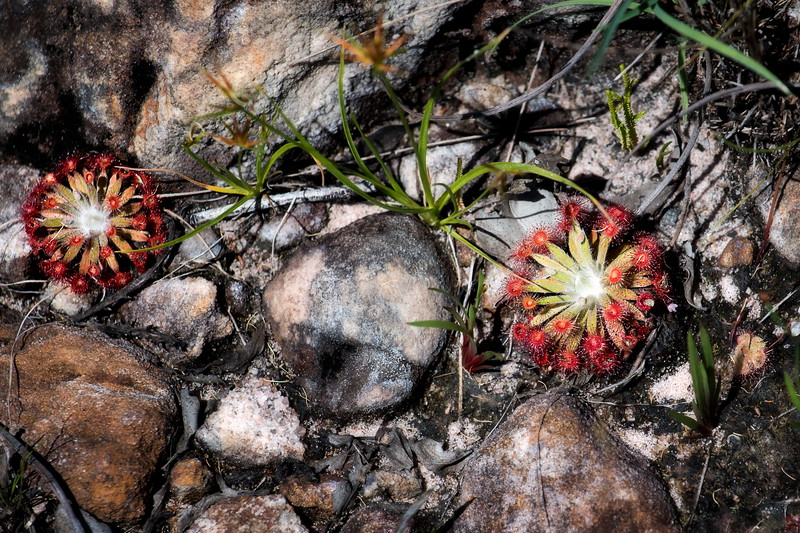 bush flowers NT Kakadu 086602017_0039 copy - Copy