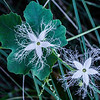 wild kiwi flower-00471