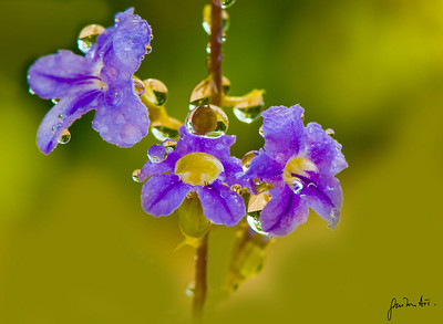 Blue-Flowers-3170_web