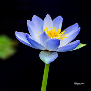 waterlily-00520_0071