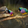 Gouldians Kimberleys Australia
