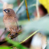 Juvenile crimson finch