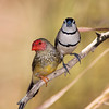 star finch and double bar finch seen together near a spring