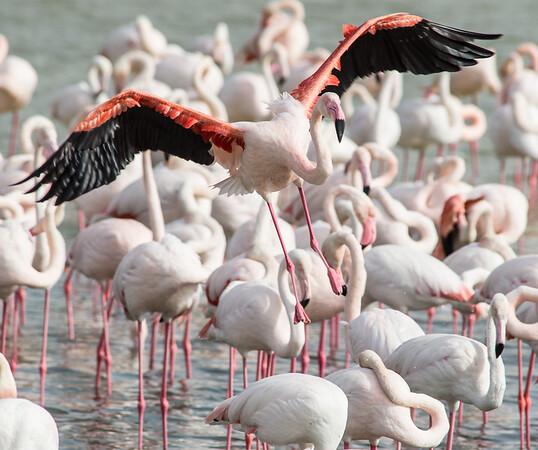 2014-02 Flamingos