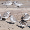 Sanderling and Friend