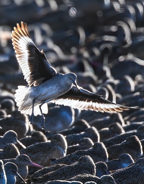 Willet landing in a flock of Marbled Godwits