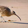 What if the Whimbrel Sees its Shadow?