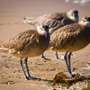 One Willet, Two Whimbrels