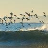 Sanderling Over Surf