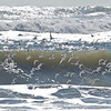 Sanderling at Chincoteague