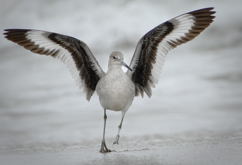 Willet landing on Limantour Beach, Point Reyes, CA