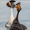 Great Crested Grebes