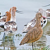 American Avocets, Marbled Godwith
