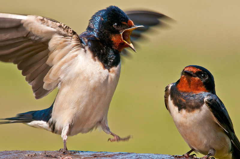 Shakespearean Swallow