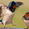 Shakespearean Swallow