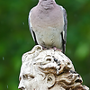 Pigeon Indignity