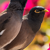 Common Mynah
