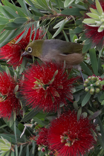 Wax-eye in Bottlebrush tree