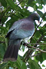 Wood pigeon, Mahurangi