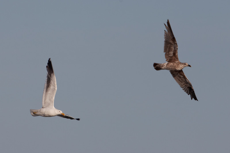 Seagull Air Fights
