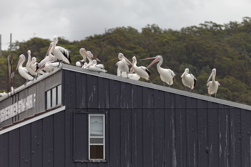 Pelicans feeding at Woy Woy