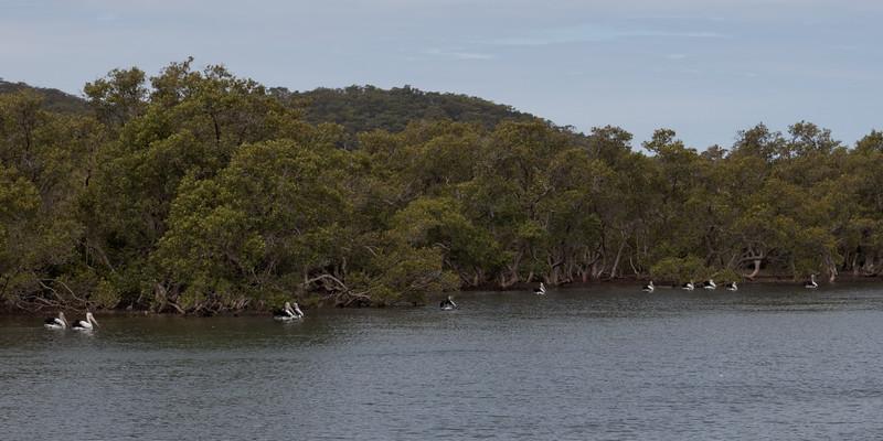 Pelicans feeding at Woy Woy