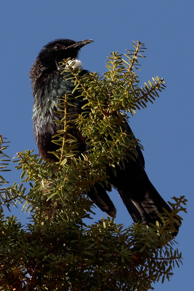 Tui taking morning sun on Totara tree