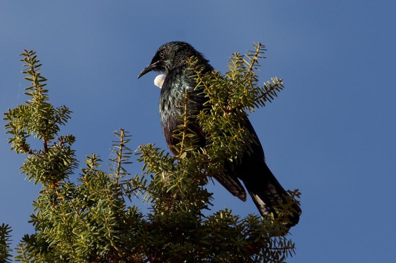 Tui taking morning sun on Totara tree