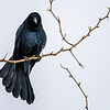 Great-tailed Darth Grackle