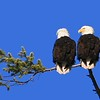 American Eagles, Skagit River