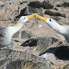 Albatross play, make sounds with their beaks.
