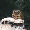 Short Eared Owl, Galapagos