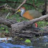 Gray Necked Wood Rail