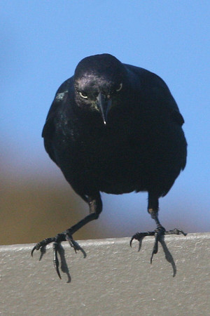 Crow, Fort Ross