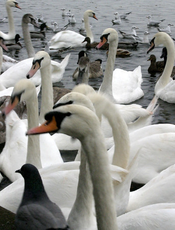 Swans in England