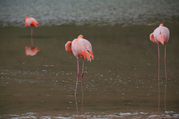Wild Flamingo's in Galapagos