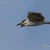 Black-crowned Night Heron Flying Black-crowned Night Heron on Chester island. <em>Photo credit: Diane D. Nunley<em>