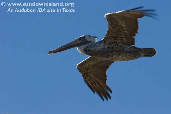 <h2>Flying over us during lunch is a young juvenile brown pelican whose adult feathers are starting to come in.  </h2><em>Photo credit: Marcy Crowe Spears</em>