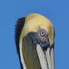 A Brown Pelican in full breeding plumage. <em>Photo credit: Peggy Wilkinson<em>