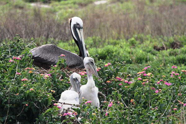 You can't beat the accommodations here.  Is that Brown Pelican sitting on more eggs? Do the fledglings belong to this parent or is it babysitting? <em> Photo credit: Brent Ortego</em>