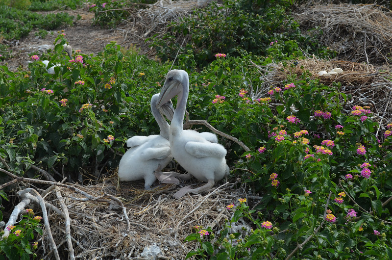 Two Brown Pelican fledglings.  One is likely a week older than the other one. <em> Photo credit: Peggy Wilkinson</em>