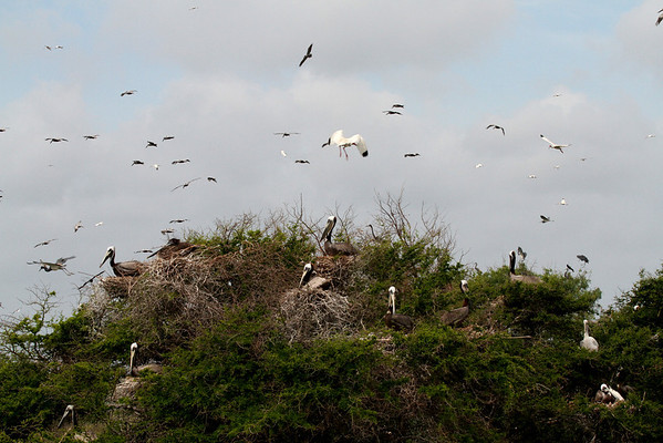 This is a typical scene of Brown Pelicans on any breeding island with trees.  It looks like a carefully designed condo! The pelicans love to be high up there—makes it easier to take off. If you look at this photo in X2 or X3 large you will see more species. <em> Photo credit: Brent Ortego</em>
