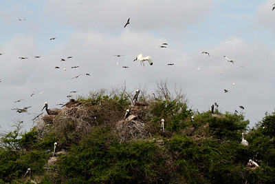 This is a typical scene of Brown Pelicans on any breeding island with trees.  It looks like a carefully designed condo! The pelicans love to be high up there—makes it easier to take off. If you look at this photo in X2 or X3 large you will see more species.  Photo credit: Brent Ortego